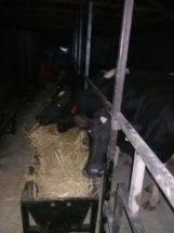Kühe in ihrem neuen Zuhause.